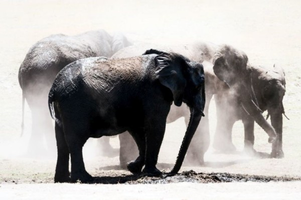 Herd Elephants in the Dust, Chobe National Park, Botswana, Africa